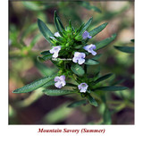 Mountain Savory (Summer) Wild Crafted Essential Oil