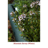 Mountain Savory (Winter) Wild Crafted Essential Oil