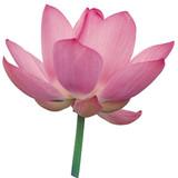 Lotus Pink Absolute Essential Oil