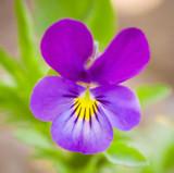 Violet Leaf Absolute Essential Oil