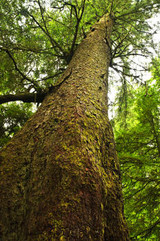 Spruce Hemlock Essential Oil