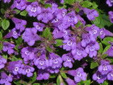 Thyme Borneol Wild Crafted Essential Oil