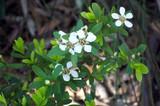 Tea Tree (Australian) Organic Essential Oil