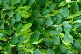 Spikenard (Green) Wild Crafted Essential Oil
