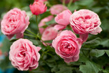 Rose Otto (Bulgarian) Absolute Essential Oil