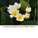 Plumeria (Frangipani) Absolute Essential Oil (Semi-Solid) *Comes in a Jar*