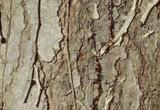 Pine White Organic Essential Oil