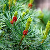 Pine Needle (Pine Scotch) Wild Crafted Essential Oil