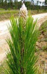 Pine Long Leaf Essential Oil