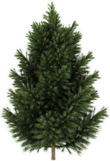 Pine Black Wild Crafted Essential Oil