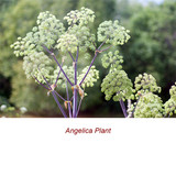 Angelica Root Absolute Essential Oil