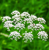 Anise (Aniseed) Essential Oil