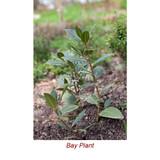 Bay Rum (Leaf) Essential Oil - 1 ML