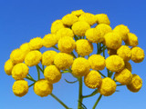 Blue Tansy Wild Crafted Essential Oil