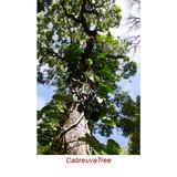 Cabreuva Wild Crafted Essential Oil