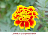 Calendula (Marigold) Absolute Essential Oil