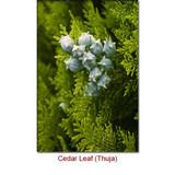 Cedar Leaf (Thuja) Essential Oil - White Cedar