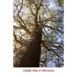Cedarwood Atlas Organic Essential Oil