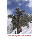 Cedarwood Himalayan Wild Crafted Essential Oil