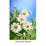 Chamomile Roman Wild Crafted Essential Oil