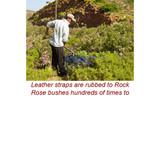 Cistus Wild Crafted Essential Oil (Rock Rose, Labdanum) - LIQUID