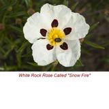 5 ml Cistus Absolute Essential Oil (Rock Rose, Cistus Ladaniferus) (SEMI-SOLID)
