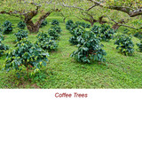 Coffee (Roasted) Essential Oil