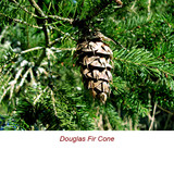 Douglas Fir Wild Crafted Essential Oil