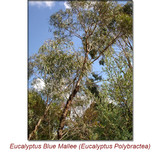 Eucalyptus Blue Mallee Organic Essential Oil