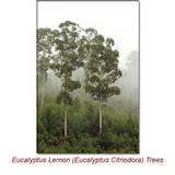 Eucalyptus Lemon (Eucalyptus Citriodora) Essential Oil