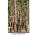 Eucalyptus Lemon Organic (Eucalyptus Citriodora Organic) Essential Oil