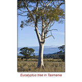 Eucalyptus Dives Essential Oil