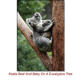Eucalyptus Globulus (Blue Gum) Essential Oil