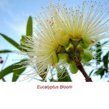 Eucalyptus Globulus (Blue Gum) Organic Essential Oil