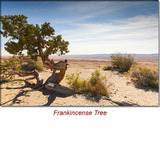Frankincense (France) Essential Oil