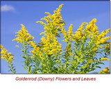 Goldenrod (Downy) Organic Essential Oil -5 ml