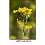 Helichrysum (African) Wild Crafted Essential Oil