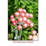 Helichrysum (Italicum) Wild Crafted Essential Oil
