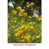 Helichrysum Gymnocephalum (Madagascar) Wild Crafted Essential Oil