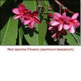 Jasmine Absolute Essential Oil