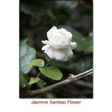 Jasmine Sambac Absolute Essential Oil