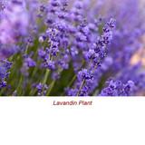Lavandin Organic Essential Oil