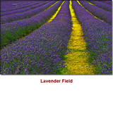 Lavender Absolute (Supreme) Essential Oil