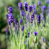 Lavender Fine Population Essential Oil