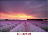 Lavender Maillette Essential Oil