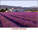 Lavender Russia Essential Oil