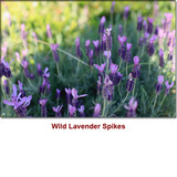 Lavender Spike Wild Crafted Essential Oil