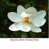 Magnolia (White Champa Flower) Wild Crafted Essential Oil