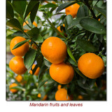 Mandarin Red Essential Oil