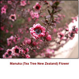 Manuka (Tea Tree New Zealand) Wild Crafted Essential Oil